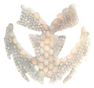 otonycteris hemprichii3